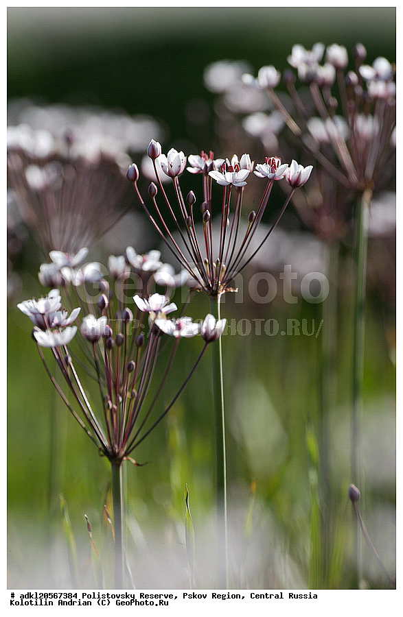 цветок стрелолист