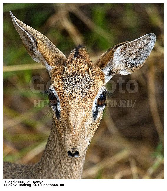 Карликовая антилопа