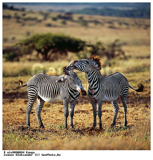 Hippotigris африка зебры животные конго