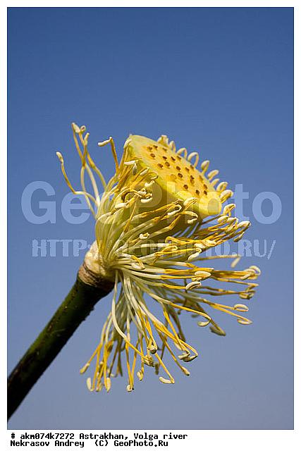Растение из красной книги лотос