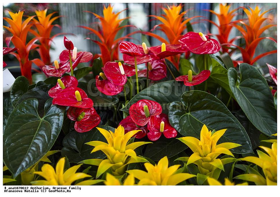 Фото цветков семейства ароидные