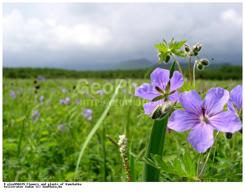 Цветы камчатки