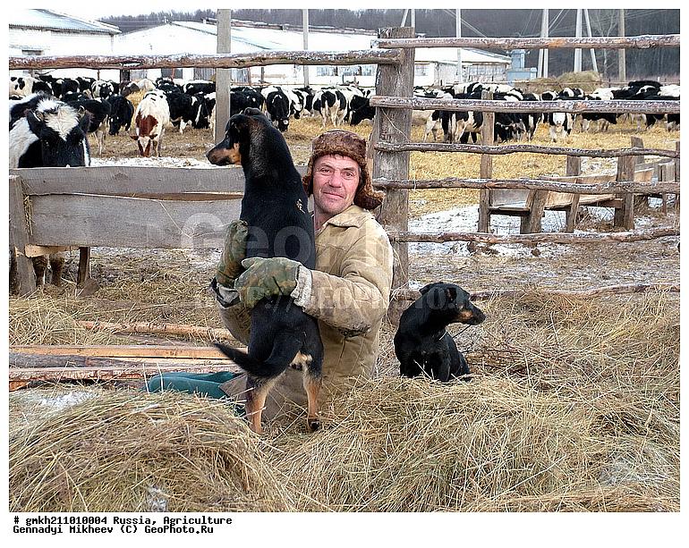 Сельское хозяйство, деревенский, деревня, животные, колхоз, корова, коровник, коровы, крестьяне, крестьянский...