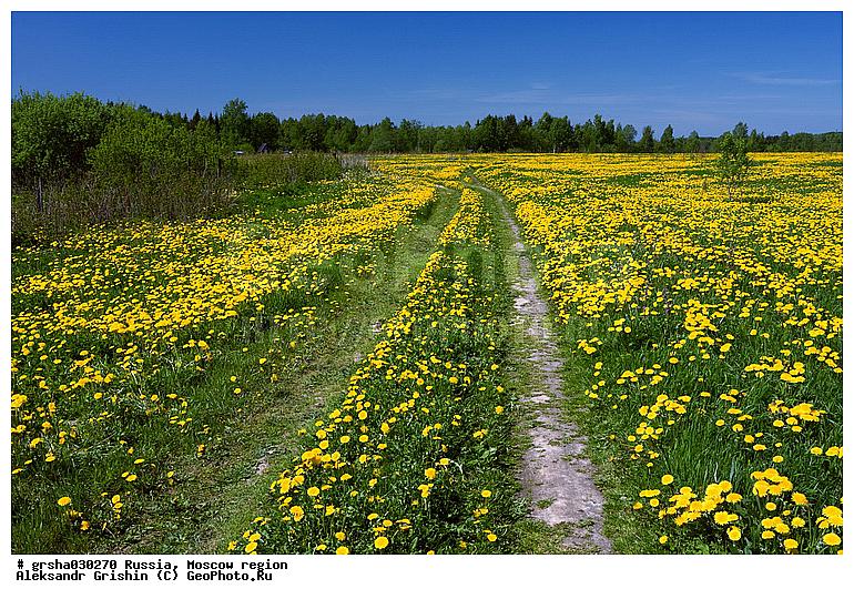 Среднерусский пейзаж, Подмосковье.  Сельская дорога на поле из одуванчиков.