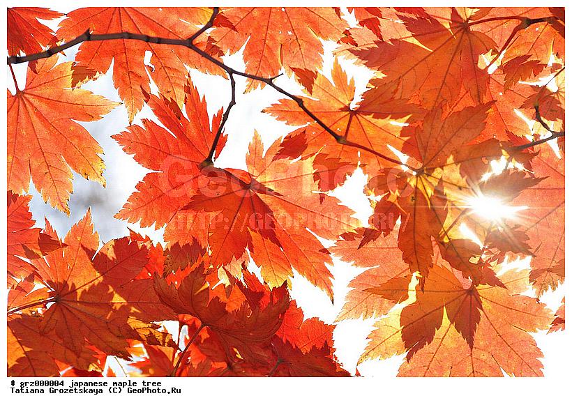 Фотография Осенние кленовые листья, осенняя раскраска ...: http://geophoto.ru/?action=show&id=209787