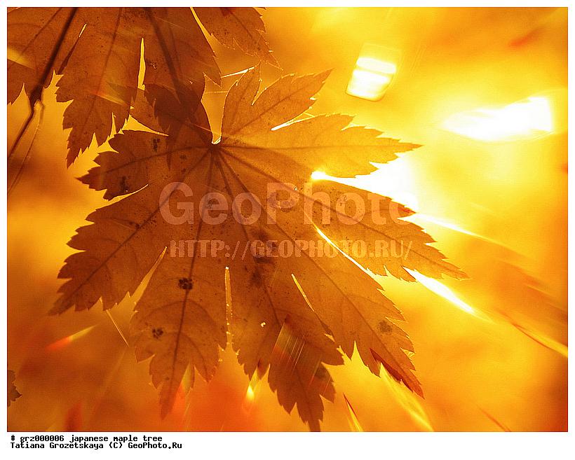Осенние осенние кленовые листья