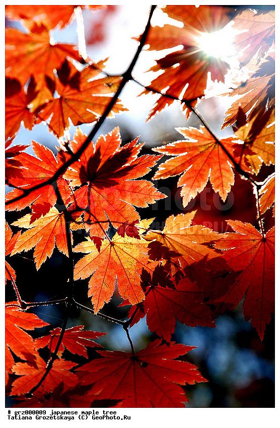 Осень золотые клены календарь клен