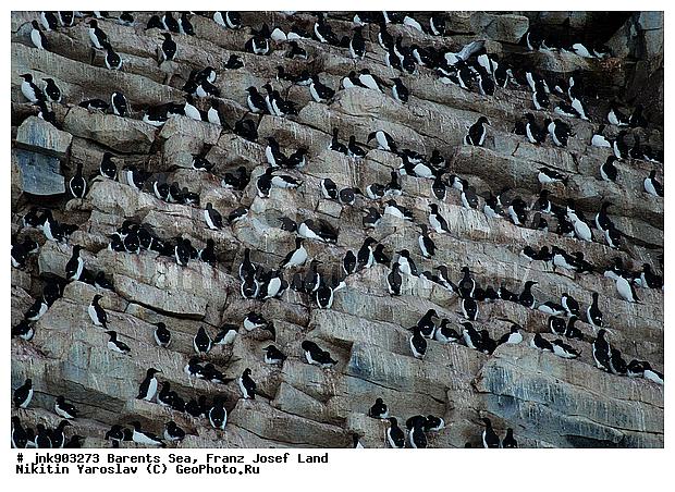 птичьи базары в ледовитом океане фото:
