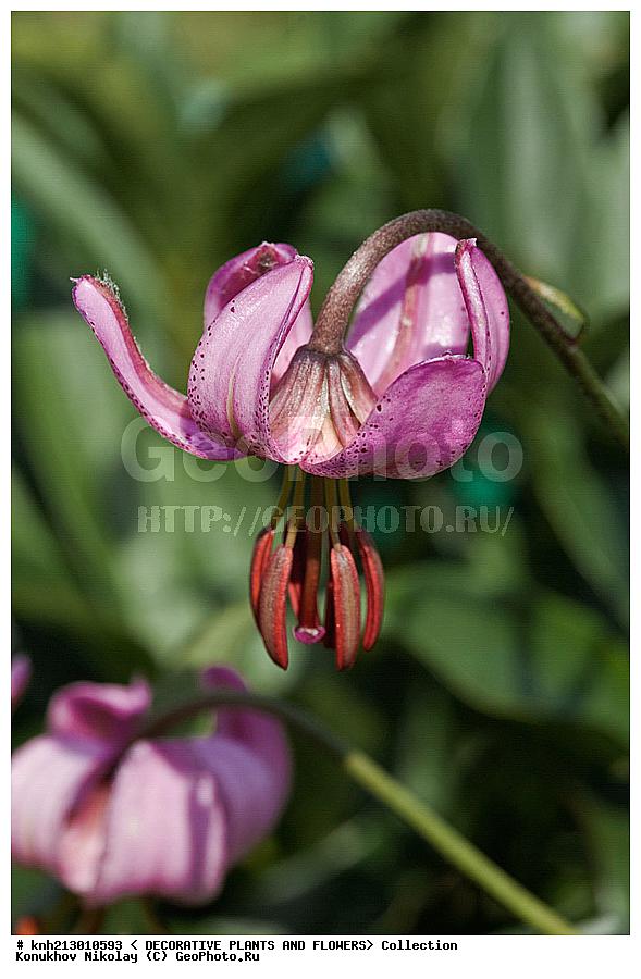 Царская лилия цветок