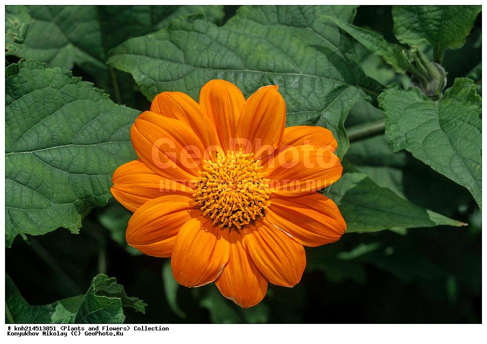 Цветы мексиканский подсолнух