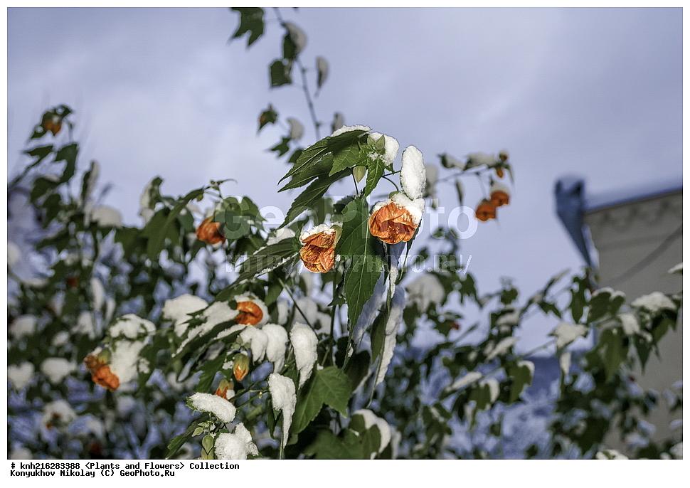 фотография Redvein Abutilon Abutilon Pictum Abkhazia фотобанк
