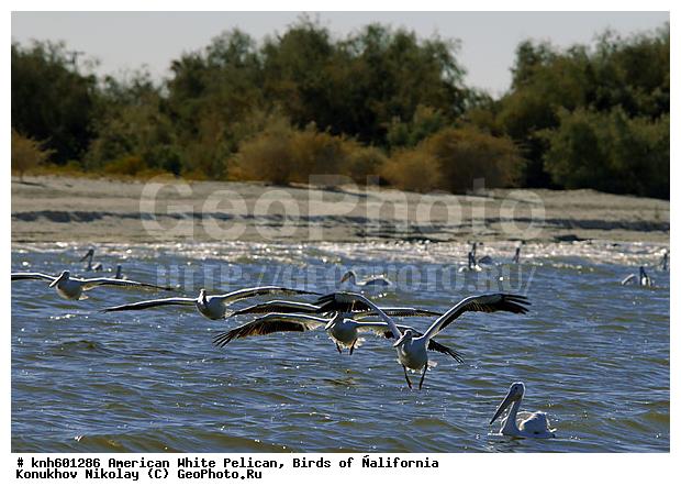 белый пеликан рыбалка
