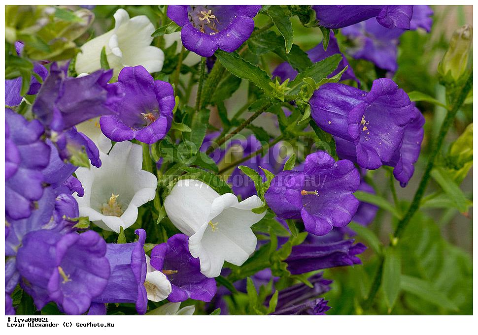 Сиреневый колокольчик цветок