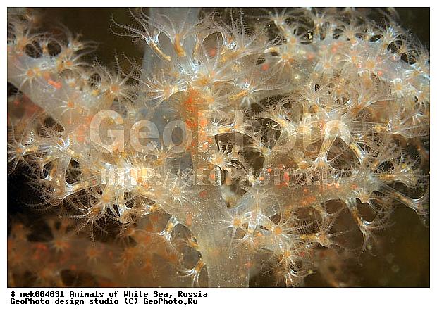 Мягкий кралл gersemia cubformis белое море