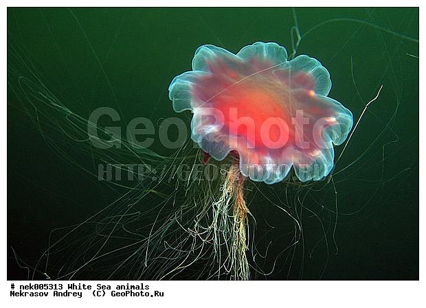 Медуза цианея cyanea capillata белое море