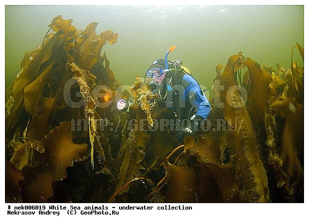Морская капуста ламинария cyclopterus lumpus