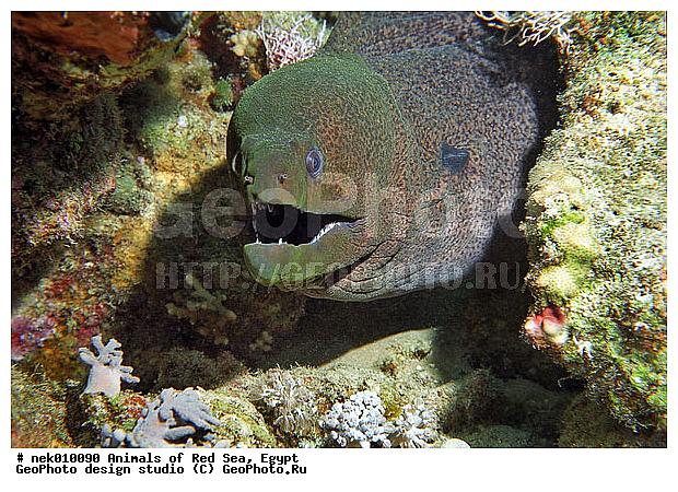 Подводный мир красного моря мурена