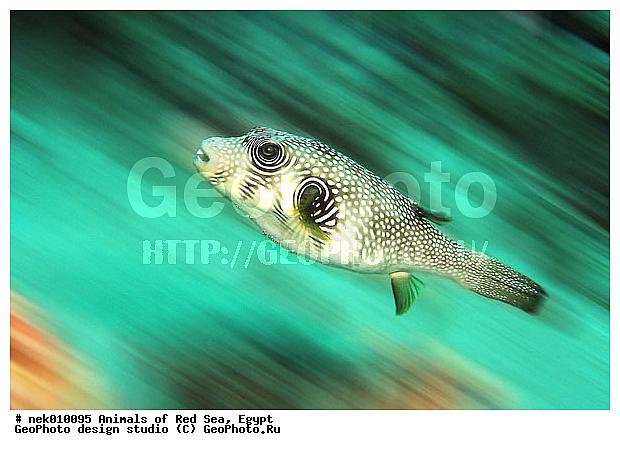 Иглобрюх фугу рыба шар arothron stellatus