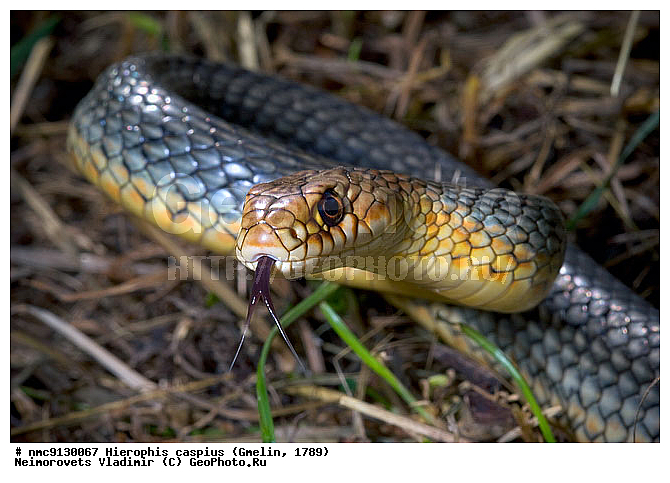 ядовитые змеи обитающие в краснодарском крае пожаловать сайт обо