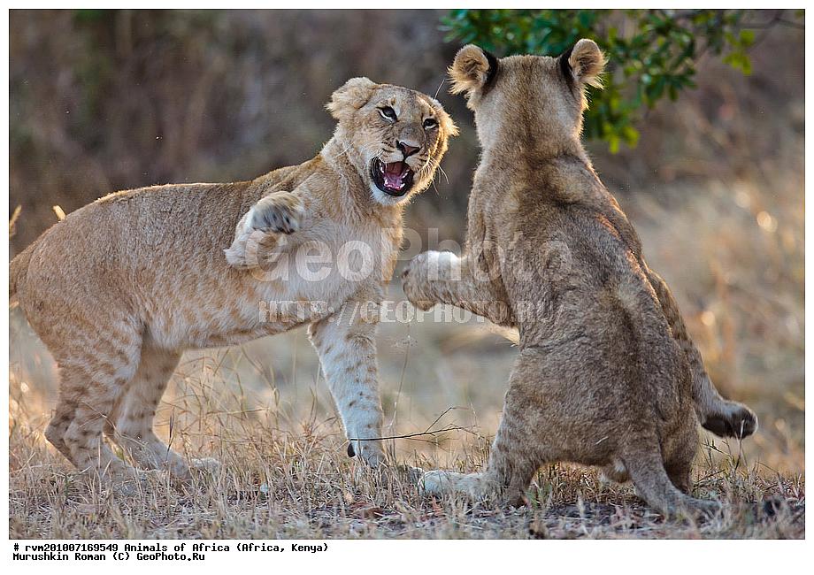Panthera leo животные африки африка кения