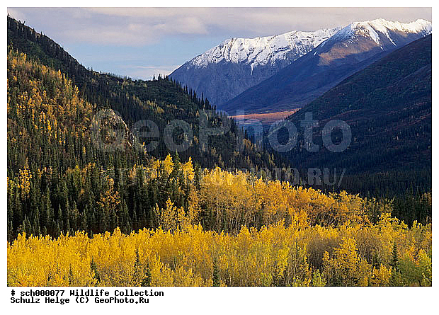 Alaska, Alaskabergkette, America, Amerika, Amerikanische Zitterpappel, Amerikanische Zitterpappeln, Aspe, Aspen, Baeume, Baum, Berg, Berge, Bergkette, Bergketten, Denali-Nationalpark, Denali Nationalpark, Dreifurchenpollen-Zweikeimblaettrige, Espe, Espen, Gebirge, Gebirgszuege, Gebirgszug, Herbst, Herbstfarben, Herbstimmungen, Herbstlaub, Herbststimmung, Indian summer, Laubbaeume, Laubbaum, Laubwaelder, Laubwald, Malpighiales, Nordamerika, North America, Pappel, Pappeln, Pflanze, Pflanzen, Populus, Populus tremoloides, Rosenaehnlich, Rosenaehnliche, Rosidae, Rosopsida, Salicaceae, Tundra, Tundralandschaft, USA, United States, United States of America, Vereinigte Staaten, Vereinigte Staaten von Amerika, Weidengewaechs, Weidengewaechse, Zitterpappel, Zitterpappeln, alaskarange, alaska range, asp, aspen, asps, autumn, autumnal color, autumnal colors, autumnal colour, autumnal colours, autumn color, autumn colors, autumn colour, autumn colours, autumn foliage, broad-leafed tree, broad-leafed trees, broad-leaved tree, broad-leaved trees, broad leafed tree, broad leafed trees, broad leaved tree, broad leaved trees, bunte Blaetter, buntes Laub, cottonwood, countryside, deciduous forest, deciduous forests, deciduous woodland, fall, fall color, fall colors, fall colour, fall colours, fall foliage, herbstliche Tundra, landscape, mountain, mountain chain, mountainous ridge, mountain range, mountains, poplar, range, ranges, ridge, scenery, scenic, tree, trees, Аляска, дикая природа, осень, пейзаж, растения
