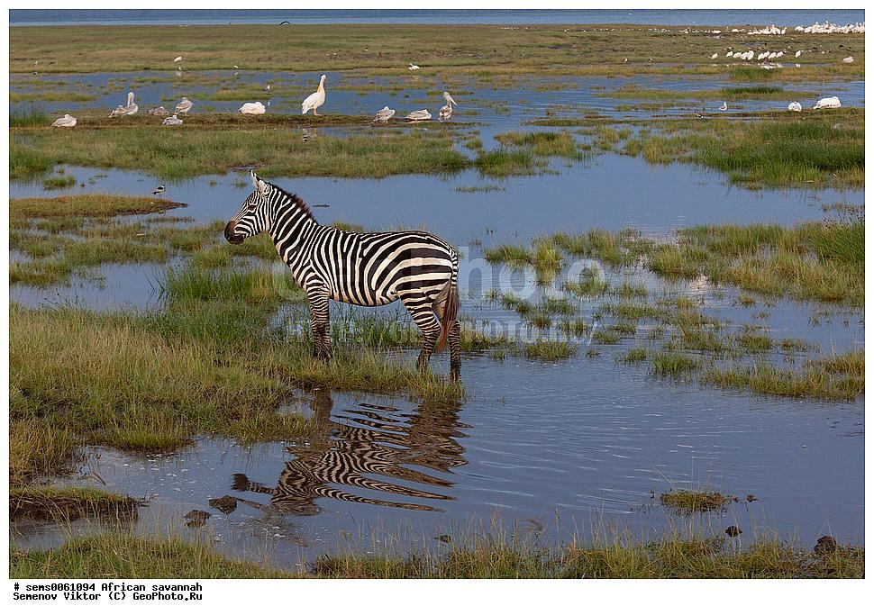 Plains zebra  Wikipedia