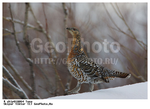 фото птицы капалуха