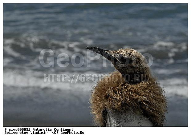 Королевский пингвин aptenodytes patagonicus