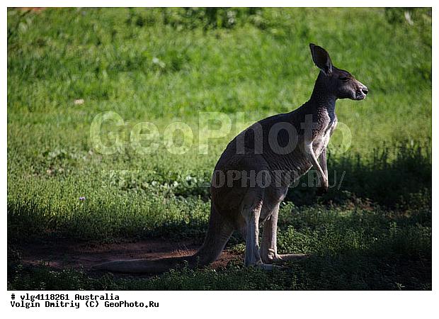 Австралия животные кенгуру