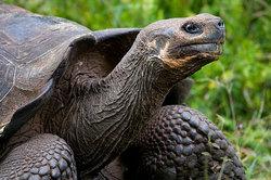 Слоновая черепаха chelonoidis elephantopus