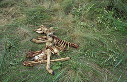 Remains baby-animal antelopes a saiga, eaten with wolves