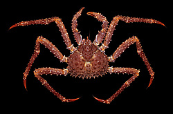 Равношипый краб Golden king crab (Lithodes aequispinus)