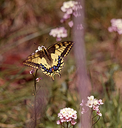 Махаон (Papilio machaon) Животные средней полосы, Россия