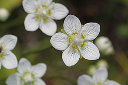 Белозор болотный (Parnassia palustris) Кроноцкий заповедник, Камчатка, Россия