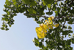 Сочинский дендрарий, Гинкго билоба - лат. Ginkgo biloba. анг. - Ginkgo Biloba, Maidenhair tree