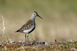 Чернозобик (Calidris alpina) Ненецкая тундра
