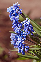 Мышиный гиацинт армянский (Мuscari armeniacum)- Armenian Grape Hyacinth