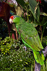 Зеленощекий амазон (Amazona viridigenalis) Red-crowned Amazon