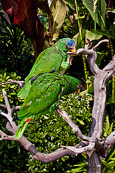 Белолобый амазон (Amazona albifrons) - White-fronted Amazon
