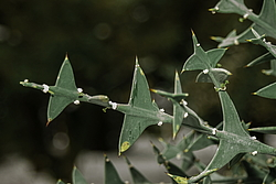 Коллеция крестообразная (Colletia cruciata) Абхазия