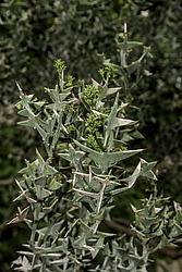 Коллеция крестообразная (Colletia cruciata) Крым, Россия