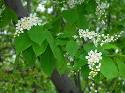 Blossoming branch of a bird cherry