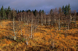 Taiga scenery with Downy Birch, Betula pubescens