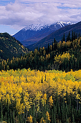 Aspen in fall and Alaska Range, Populus tremoloides