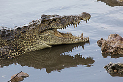Кубинский крокодил (Crocodylus rhombifer) Острова в океане: Куба