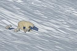 видео о белой медведице на острове врангеля