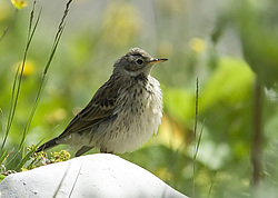 Горный конёк (Anthus spinoletta) Россия