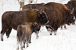 Bisons in Ugra National Park